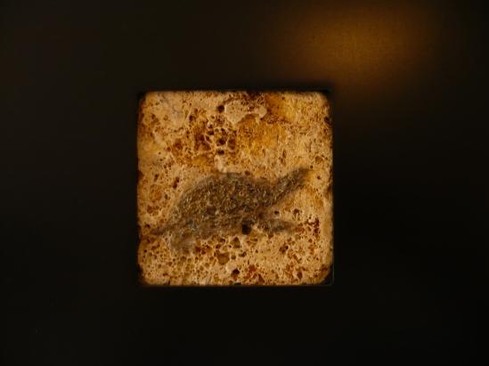 Turtle fossil framed